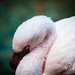 Flamingo by crfleury