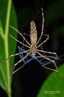 Net-casting spider (Deinopis cf. madagascariensis) - DSC_8776