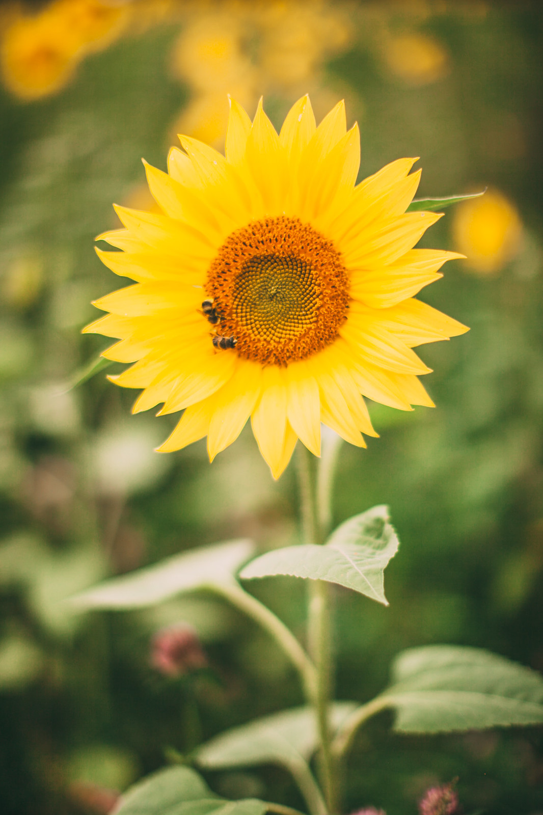 sunflower field-12