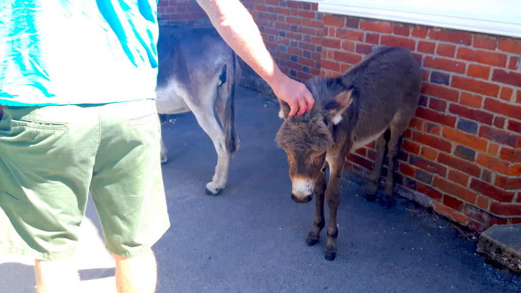 New Forest donkey foal, England