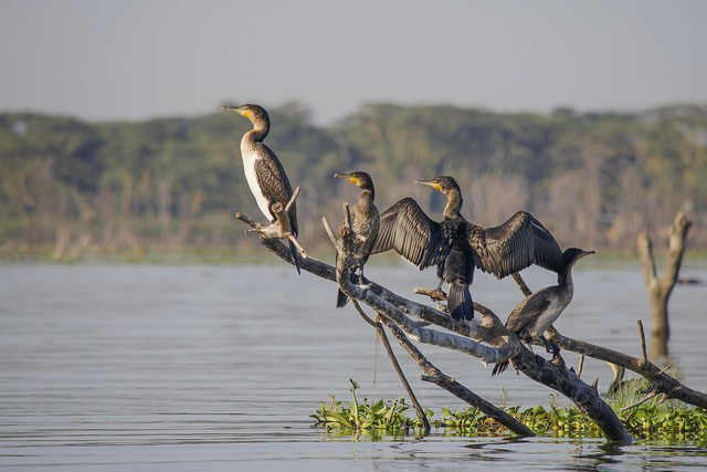 Cormorants basking in Lake Naivasha