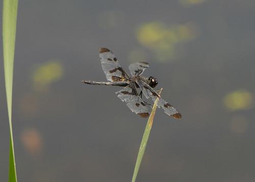 insects odonata libellulidae