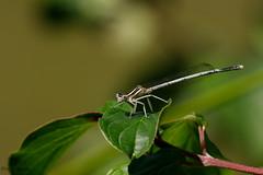 pennipatte bleuâtre, appelé également agrion à larges pattes (Platycnemis pennipes)