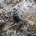 Flea Beetle sp. - Altica cf. palustris