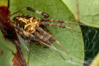 Orb weaver spider (Neoscona sp.) - DSC_3124