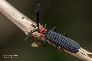 Net-winged beetle (Metriorrhynchini) - DSC_9537