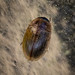Hydrophilid Beetle sp. - Enochrus melanocephalus