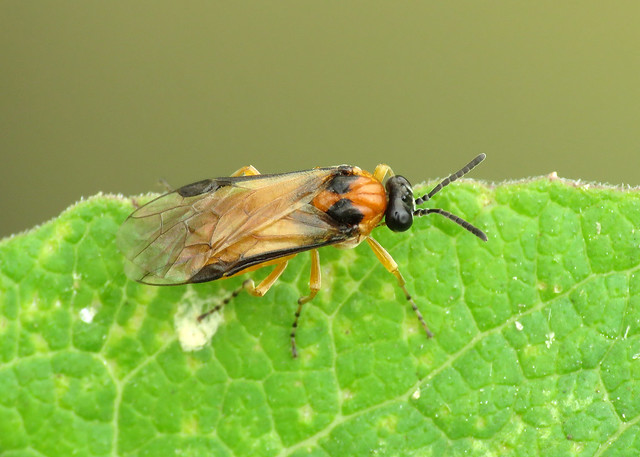 Turnip Sawfly - Athalia rosae