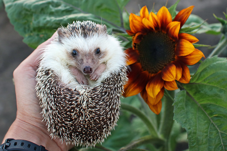 Sonic Sunflower