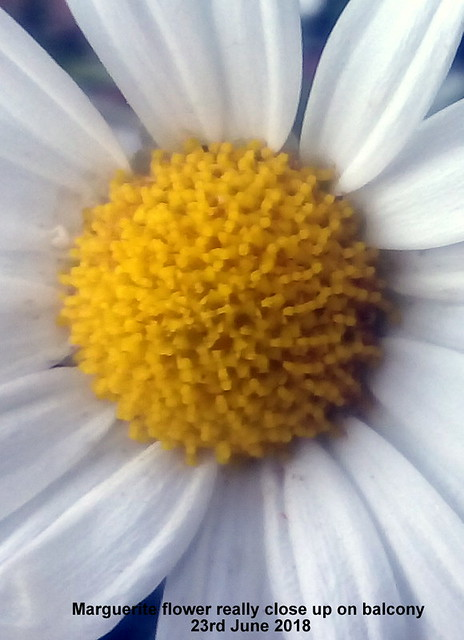 Marguerite flower really close up on balcony 23rd June 2018