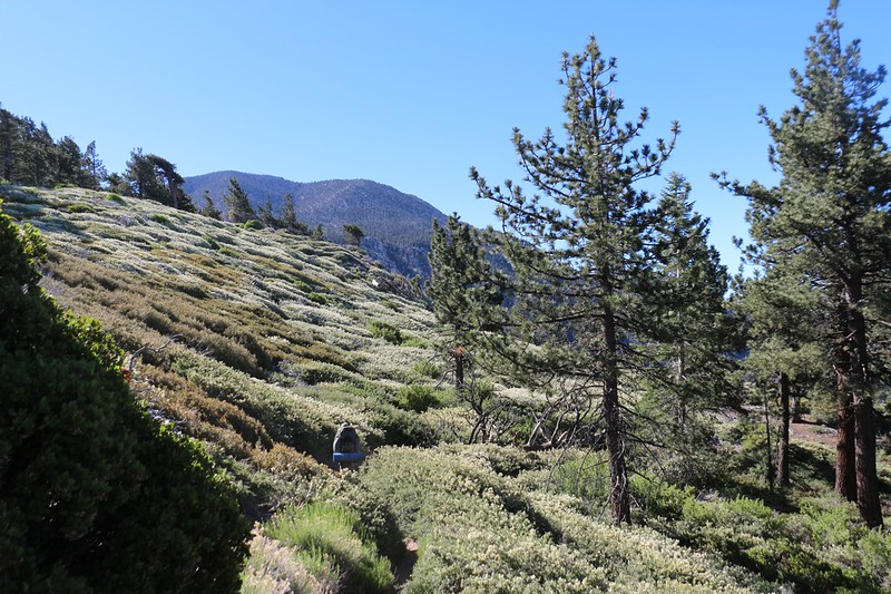 A hillside of manzanita and flowering buckthorn with San Bernardino Peak in the background