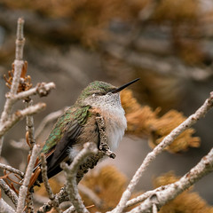 1808 Napping Hummingbird on the Alpine Pond Trail in Cedar Breaks National Monument