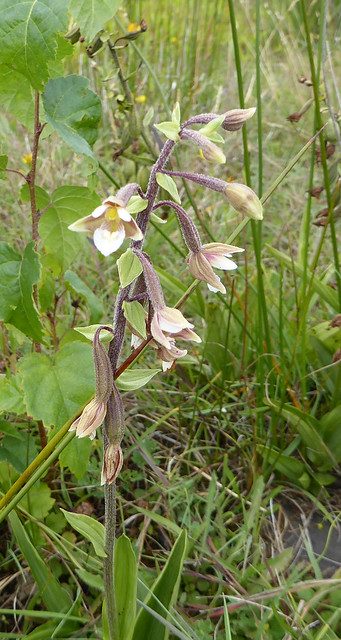 Marsh helleborine at Dawlish Warren