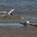 Common Terns  18
