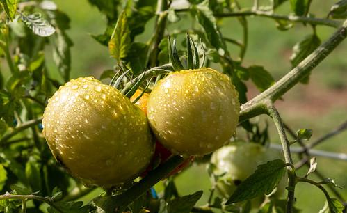 tomato_plant-20180823-100
