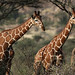 Reticulated Giraffes by hbp_pix