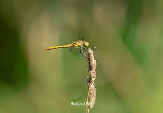 Yellow Winged Darter ♀