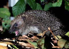 HolderThe good Old British Hedgehog!
