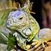 Noahs Ark - Iguana 1
