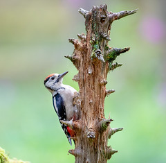 Grteat Spotted Woodpecker ( juv)