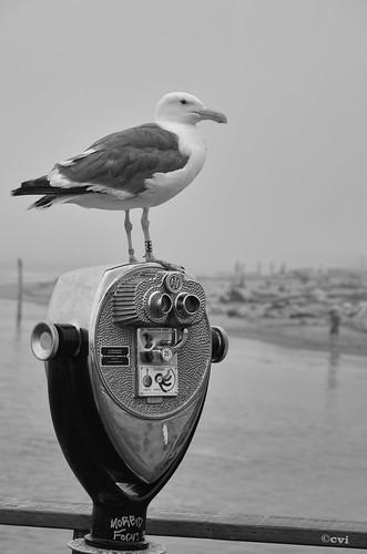 hmm monochrome blackandwhite bw seagull bird water ocean pier taftbeach outdoors nikon d7000 pse14 topaz