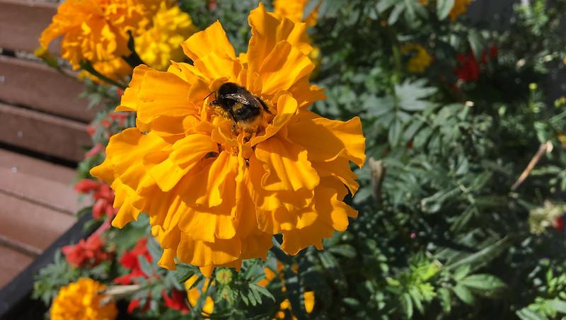 Bee on a Marigold