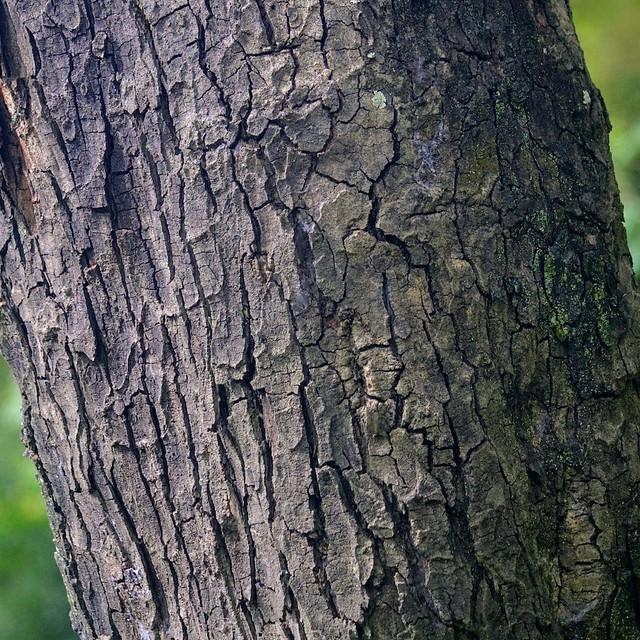 timber 香港古樹皮圖鑑樹木圖片1
