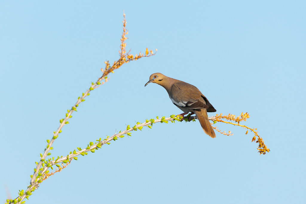A white-winged dove perches on an ocotillo starting to leaf out after the summer rains in McDowell Sonoran Preserve
