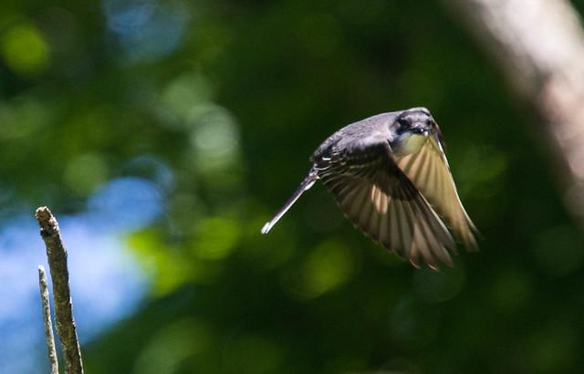 Kingbird takes flight