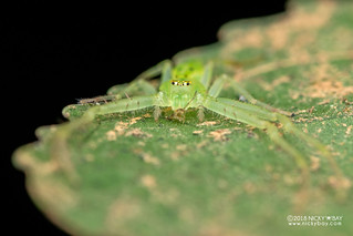 Green crab spider (Oxytate sp.) - DSC_9412