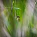 RSPB Ham Wall-Reed Warbler