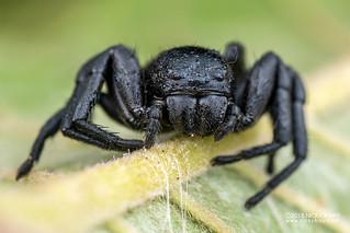 Crab spider (Camaricus cf. nigrotesselatus) - DSC_7009