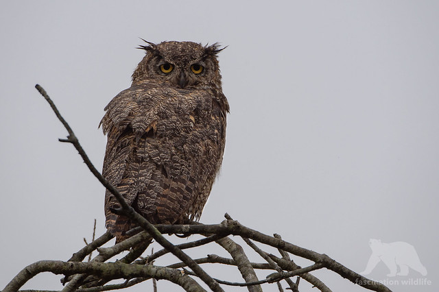 Great Horned Owl #explored