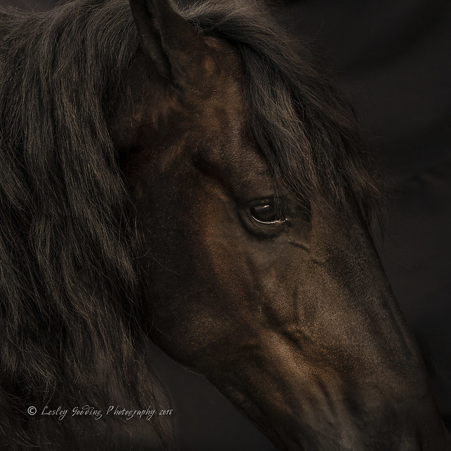 Friesian Stallion (2)