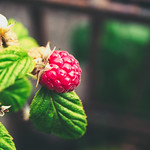 20180624-163354 Raspberry on the bush - Bokeh