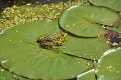 Kikkers / Frogs
