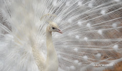 the white peacock!