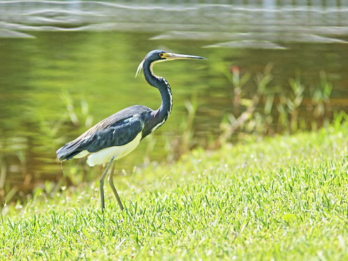 Tricolored Heron 03-20180620
