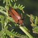 Red Longhorn Beetle - Stictoleptura rubra