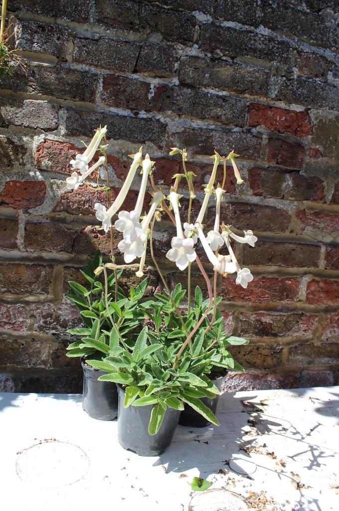 Sinningia tubiflora