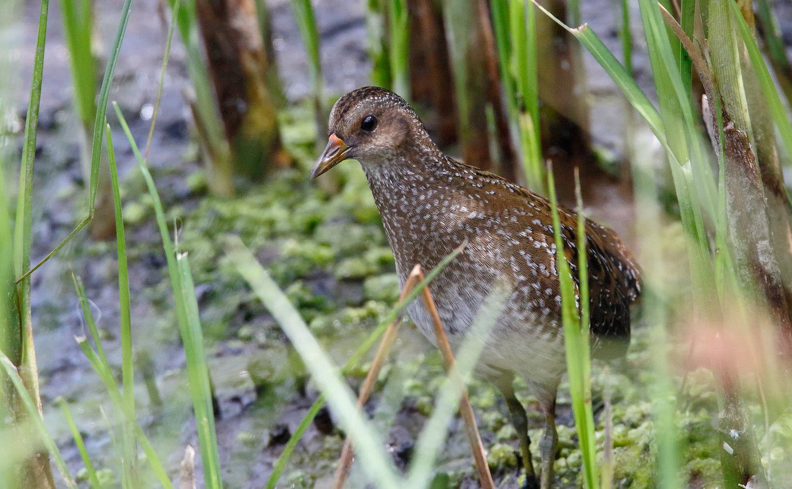 Spotted Crake -a difficult subject
