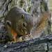 Oriental squirrel feeding on groundnut