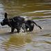Dog shaking off water, 2018 Jul 14