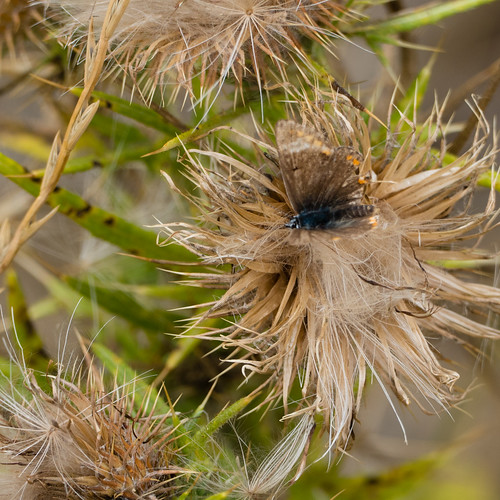 Ragged butterfly on thistle seed head