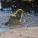 Lesser Goldfinch Bath