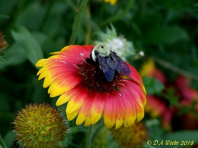 Bumblebee on Gaillardia, Fujifilm FinePix S5200