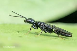Wasp (Bethylidae) - DSC_8792