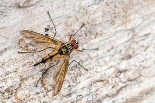Parasite fly (Dexiinae) - DSC_9553
