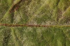 Podosphaera erigerontis-canadensis on Taraxacum sect. Ruderalia