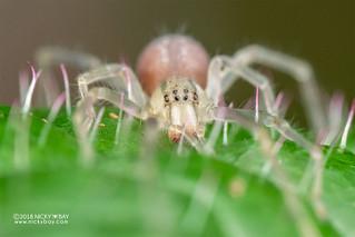Sac spider (Cheiracanthium cf. leucophaeum) - DSC_6977